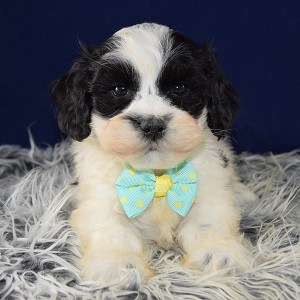 Lhasachon puppies for sale in VA