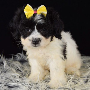 Lhasachon puppies for sale in PA