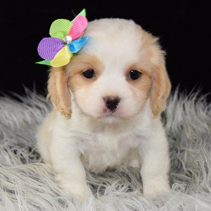 Lhasa mix puppies for sale in VA