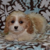 Lhasa Mix for sale in PA