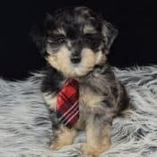 Lhasapoo puppies for Sale in NJ