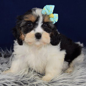 Lhasa mix puppies for sale in NJ