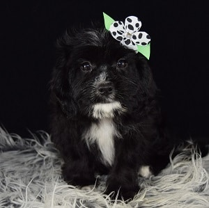 Lhasa mix puppies for sale in MD