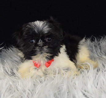 Lhasa Tzu Puppies for sale in DC