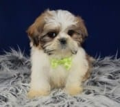 Lhasatzu puppies for Sale in PA