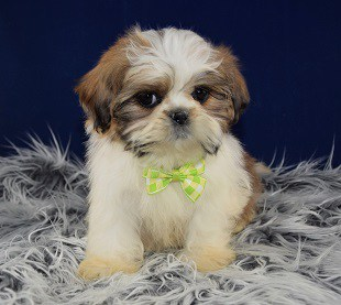 Lhasa Tzu Puppy adoptions in NJ