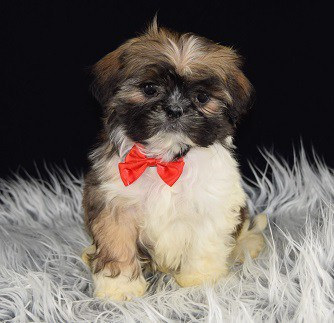 Lhasa Tzu Puppy adoptions in MD