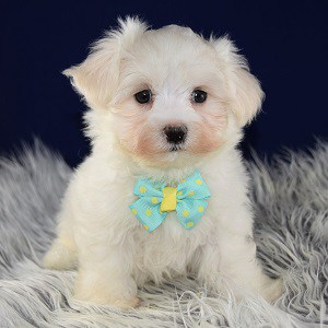maltese puppy for sale in ny maltese puppies for sale in pa ridgewood s maltese puppy 3668