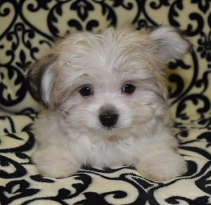 Pom mix puppies for Sale in PA