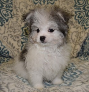 Pom mixed puppies for sale in PA