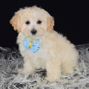 Lhasapoo puppies for sale in VA