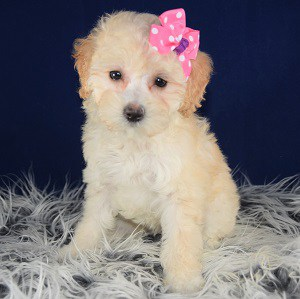 Lhasapoo puppies for sale in CT
