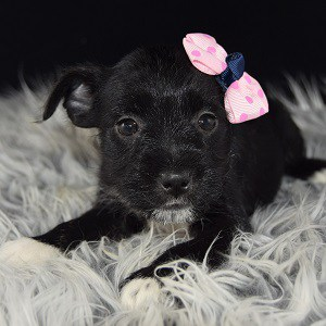 Schnauzer mix puppies for sale in PA