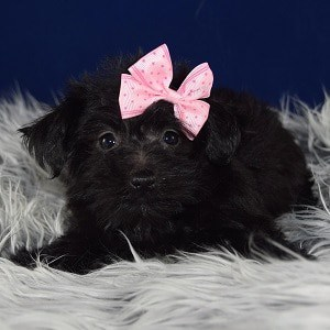Morkie puppies for sale in de