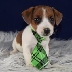 Jack Russell Puppies for Sale in VA