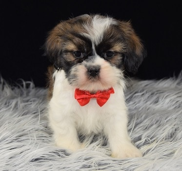 Shih Tzu mixed puppies for sale in PA