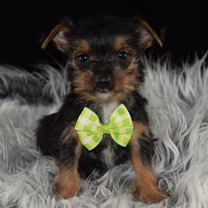 yorkie mixed puppies for sale in NJ