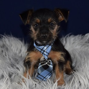 yorkie mixed puppies for sale in RI