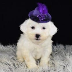 Shichon puppies for Sale in NYC