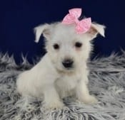 West Highland terrier puppies for sale in PA