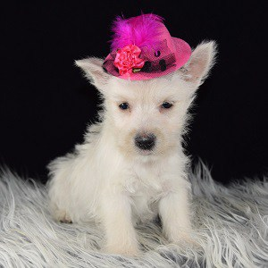 Westie puppy adoptions in MD