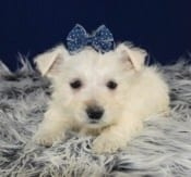 West Highland Terrier puppies for Sale in New Jersey