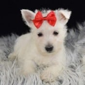 West highland terrier for sale in PA