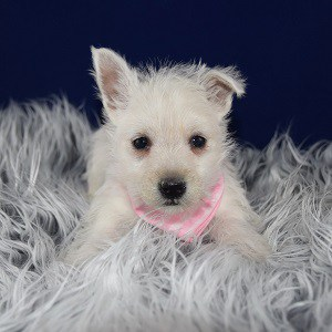 Westie Puppies for sale in MA