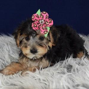 Yorkichon puppy adoptions in VA