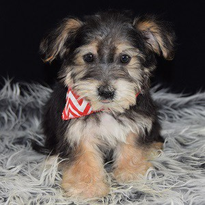 yorkichon puppies for sale in TN