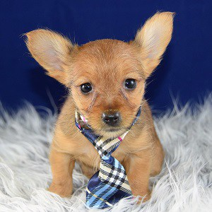 yorkie mixed puppies for sale in OH