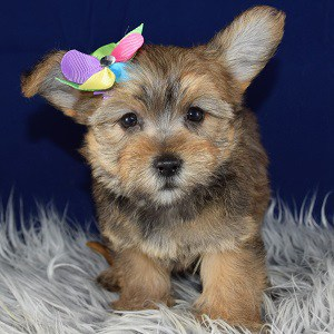 Pomeranian Mixed puppies for sale