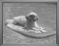 Ridgewood Lhasa puppy