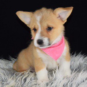 Mini Corgi Puppies For Sale >> Welsh Corgi Puppies