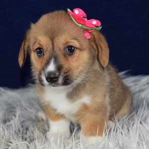 Corgi puppies for sale in PA
