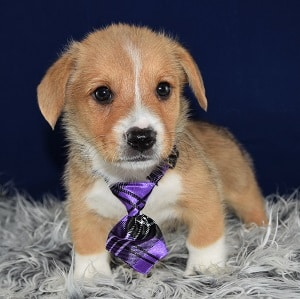 Corgi puppies for sale in CT
