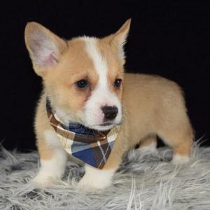 Corgi Puppies For Sale In Pa Ridgewood Corgi Puppy Adoptions