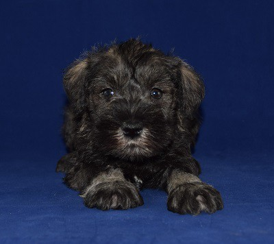 mini Schnauzer puppies for sale in PA