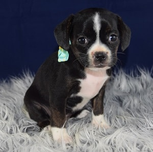 Caviston Puppies For Sale In Pa Ridgewood S Caviston Puppy Adoptions