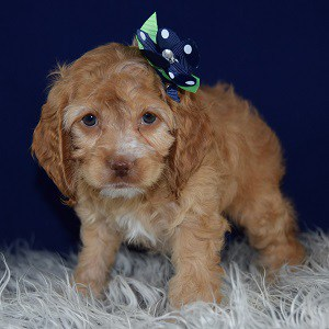 Cockapoo Puppies For Sale In Pa Cockapoo Puppy Adoptions