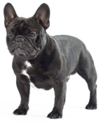 French bulldog puppies for sale in PA