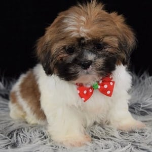 Hava Tzu puppies for sale in RI