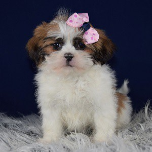 Hava Tzu puppies for sale in CT