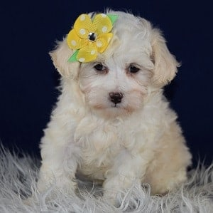 maltipoo puppies for sale in PA