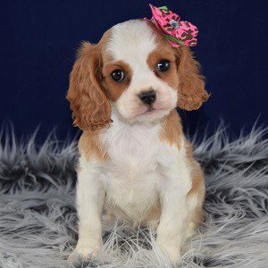CAvalier puppies for sale in Washington DC