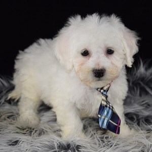 Bichon puppies for sale in DE