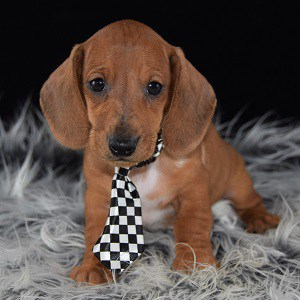 dachshund puppies for sale in NJ