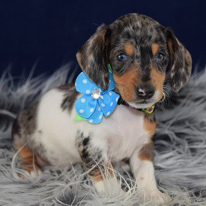 dachshund puppies for sale in DE