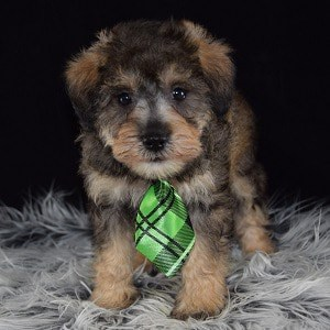 Schnoodle puppies for sale