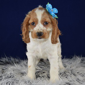 Trained Family Dogs For Sale Virginia